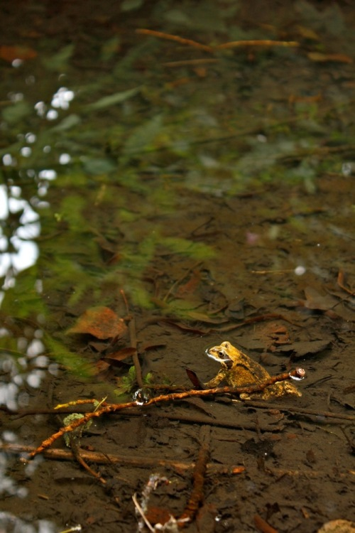 Mr_frog_at_home_in_the_stream