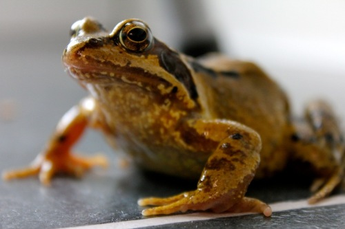 Mr_frog_on_the_kitchen_floor